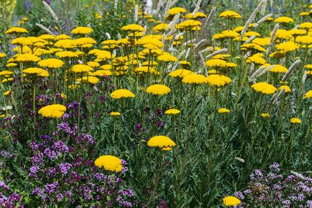 yarrow: Meadow of yellow yarrow - Achillea filipendulina Stock Photo
