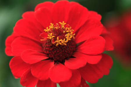 scarlet: Macro of a red zinnia - Cultivar Queeny scarlet Stock Photo