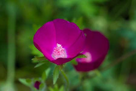 Macro of a purple poppy mallow - Callirhoe involucrata Stock Photo