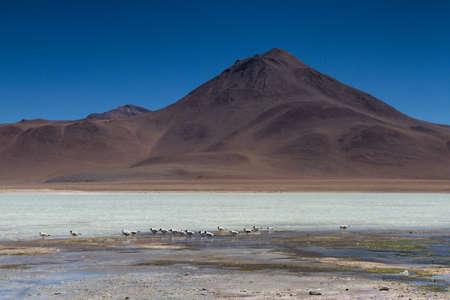 blanca: Terns at Laguna Blanca, Altiplano, Bolivia