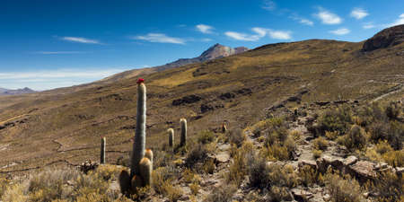 volcano slope: Blooming cactus at the slope of the Tunupa volcano, Altiplano, Bolivia