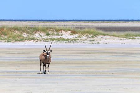 Lonely oryx at the Etosha salt pan, Namibia, Africa