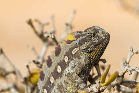Macro of a desert Chameleon, Namibia, Africa Stock Photo