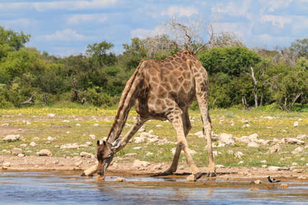 Giraffe drinking at a water hole, Etosha National Park, Namibia Stok Fotoğraf
