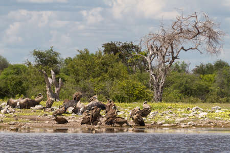 Vultures at a waterhole.