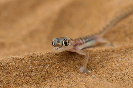 Close up a desert gecko, Namib desert, Namibia