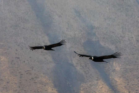 Two andean condors flying over a mountain range, Patagonia, Chile