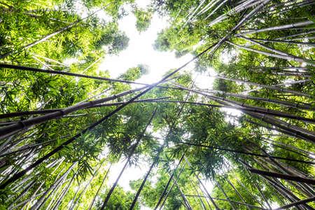 Dense bamboo forest at the Pipiwai trail, Maui, Hawaii, United States