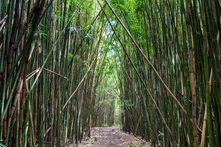 Fitta foresta di bambù presso il sentiero Pipiwai, Maui, Hawaii, Stati Uniti