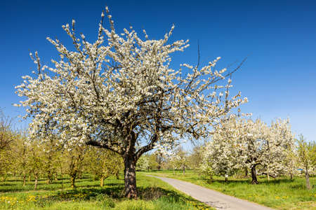 Cherry tree blossom near Ockstadt, Wetterau, Hessen, Germany