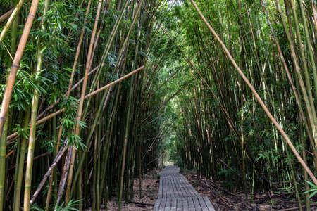 Dense bamboo forest at the Pipiwai trail, Maui, Hawaii, United States Stok Fotoğraf