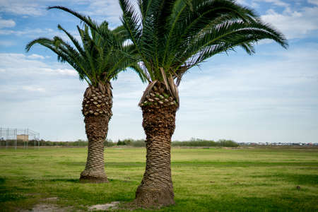 Large canary island date palms Stock Photo