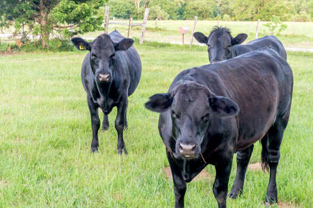 red heifer: Three Black Angus Cows