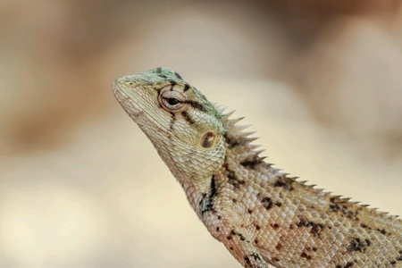 Lizard in closeup