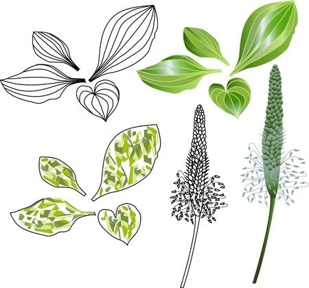 weegbree: set van bladeren en bloemen van weegbree Stock Illustratie