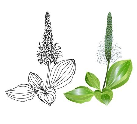 질경이 식물 흰색 배경에 고립