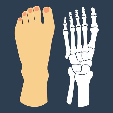 feet care: The flat design of the foot and the foot skeleton. Vector illustration.