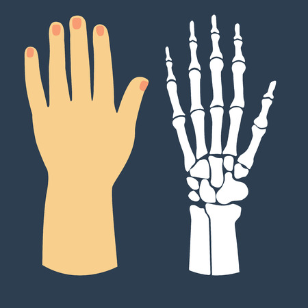The flat design of the hand and the hand skeleton. Vector illustration. Illustration