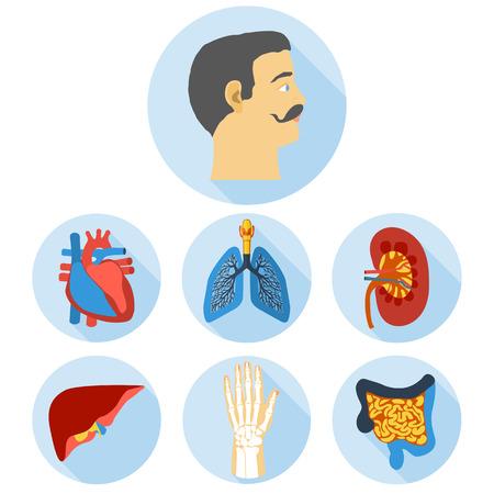 anatomia humana: Iconos dise�o plano de la anatom�a humana.