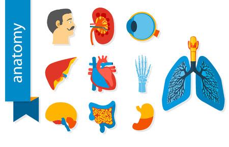 anatomia humana: Iconos dise�o plano de la anatom�a humana. Conjunto de iconos del vector aislados sobre fondo blanco. Vectores