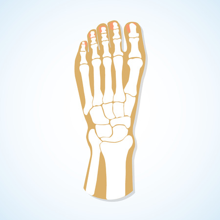 cuboid: The flat design of the foot and the foot skeleton. Vector illustration.