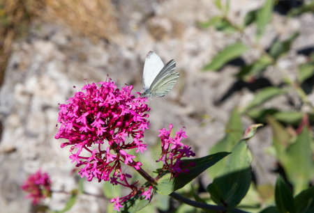 Centranthus ruber and White butterfly