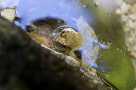 agile frog (rana dalmatina, italica)in its habitat