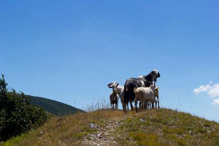 goats on peak of mountain