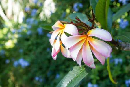 frangipanis flowers in garden la mortella ischia