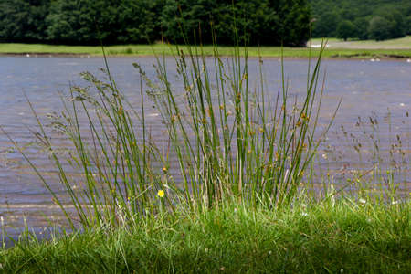 grass and mountain pond plants