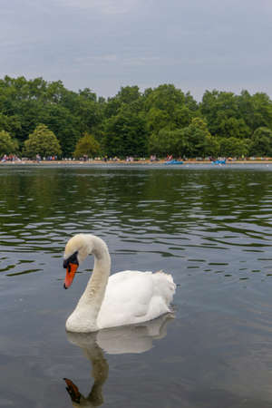 london swans at hyde park Stock Photo