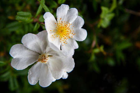 Rosa sempervirens, the evergreen rose, is a plant in the family Rosaceae, a climbing perennial with very prickly stems 스톡 콘텐츠