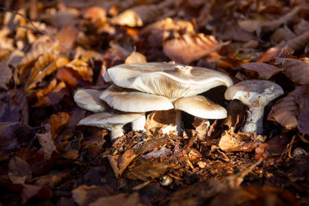 mushrooms in the beech forest in autumn