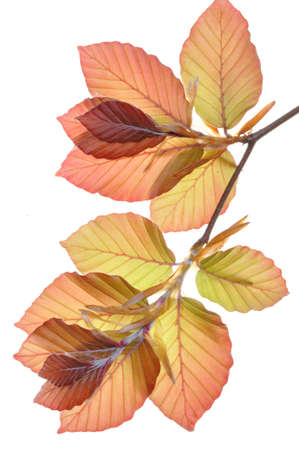 Beech tree branch fresh leaves photo
