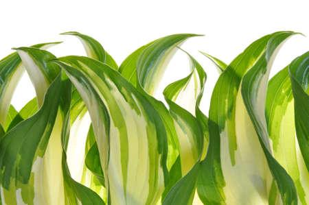 hostas: Hostas leaves decoration green plant