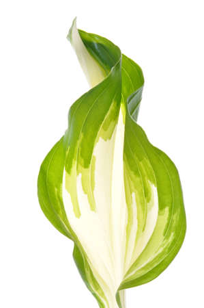hostas: Hostas leaves decoration isolated on white