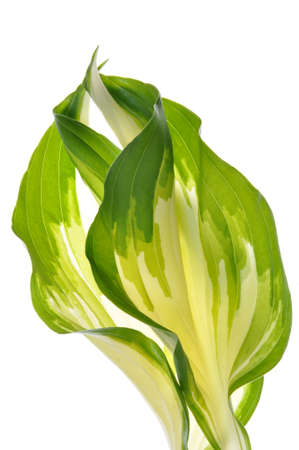 Hostas leaves decoration isolated on white