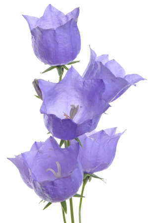 The delicate purple bell flower isolated on white background