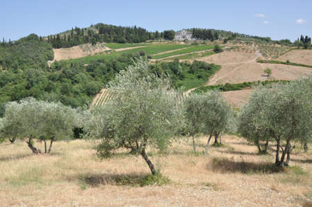 Olive grove in Chianti Tuscany Italy photo