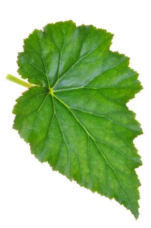 Groene blad begonia geïsoleerd op witte achtergrond Stockfoto