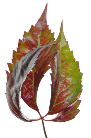 discolored: Discolored leaf vines in autumn