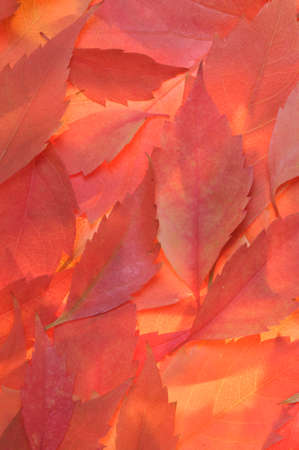 Red autumn leaves background photo