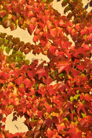 discolored: Discolored ivy on the facade of the house
