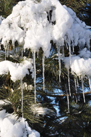 winter thaw: Icicles and snow on pine tree, the end of winter, spring thaw