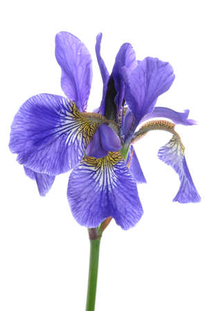 Blue iris flower isolated on white background