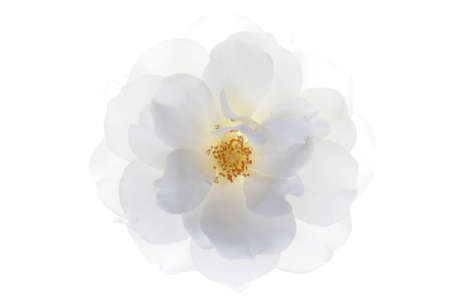 Single white rose head isolated on white background Banque d'images
