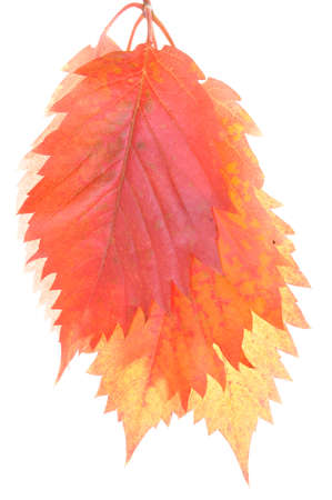 Colorful autumn leaves isolated on white background  photo