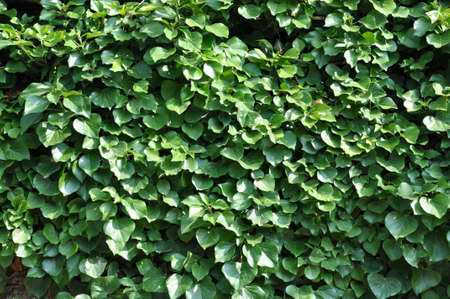 Green ivy on a wall photo