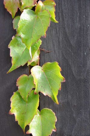 Ivy branch on a wooden garden fence  photo