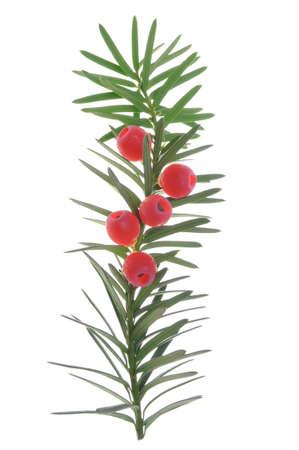 Taxus takje met vruchten geïsoleerd op wit Stockfoto